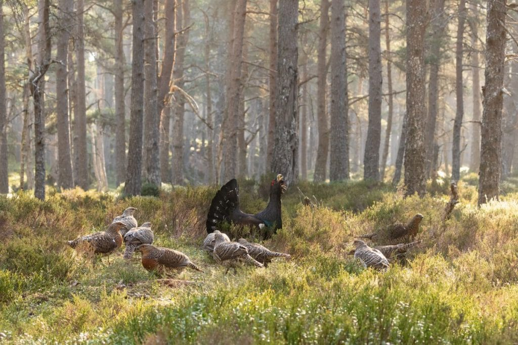cock_capercaillie_with_hens_1200x800