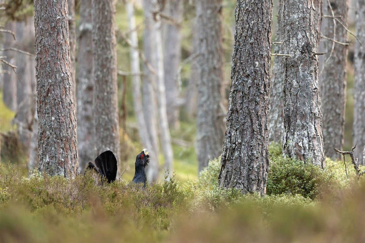 capercaillie_1200x800
